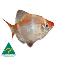 Albino Tiger Barb Fish | Puntigrus tetrazona | Aquarium Live Fish | Online