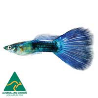Blue Neon Guppy Fish Male | Poecilia reticulata | Live Aquarium Guppies | Guppys | Aquarium Live Fish | Online