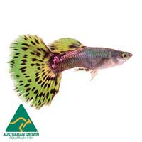 Green Cobra Guppy Fish Male | Poecilia reticulata | Live Aquarium Guppys | Guppies | Aquarium Live Fish | Online