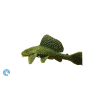 Gold Spot Pleco Catfish | Catfish | Hypostomus Plecostomus | Aquarium Live Fish | Online