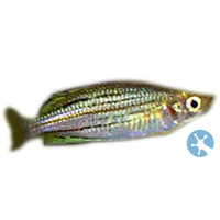 Skull Creek Rainbowfish | McCulloch's Rainbowfish | Dwarf Rainbowfish | Australian Native | Melanotaenia Maccullochi | Aquarium Live Fish | Online