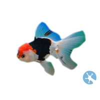 Tri Colour Oranda | Fancy Goldfish | Fancies | Carassius Auratus