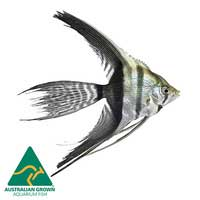Zebra Angel Fish | Pterophyllum scalare | Aquarium Live Fish | Online