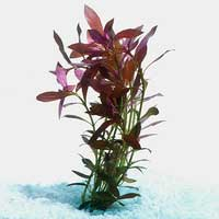 Narrow Ludwigia | Live Aquarium Plants