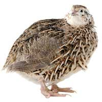 Frozen Quail | Bulk Frozen Quail | Snake Food | Frozen Snake Feeders | Carpet Python Food
