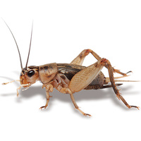 Live Large Crickets | 25mm | Live Crickets Online Australia | Bulk Live Crickets Supplier