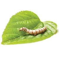 Silkworm Mulberry Leaves | Fresh Picked Leaves From White Mulberry Tree | For Silkworms