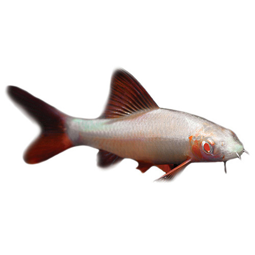 Albino Rainbow Shark | 5cm | Epalzeorhynchos frenatum | Aquarium Live Fish | Online
