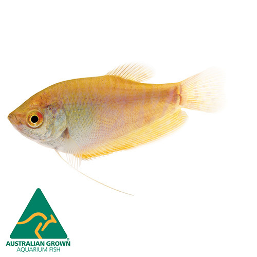Assorted Gourami | 5cm | Trichogaster sp. | Aquarium Live Fish | Online