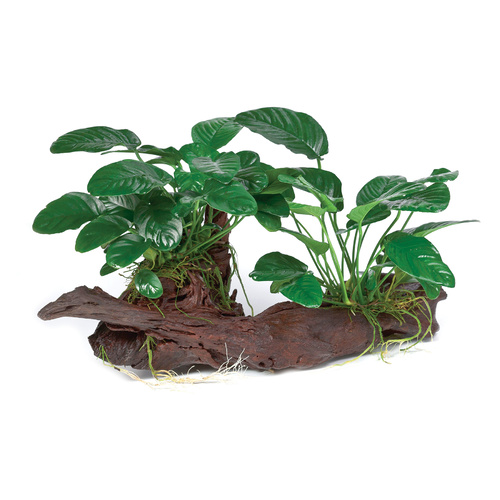 Anubias Jenny on Driftwood | Extra Small | 10-15cm | Live Aquarium Plants