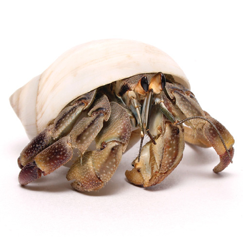 Live Hermit Crab in Fresh New Clean Shell | Medium | Size: ~22mm | 10 cent piece | Coenobita variabilis